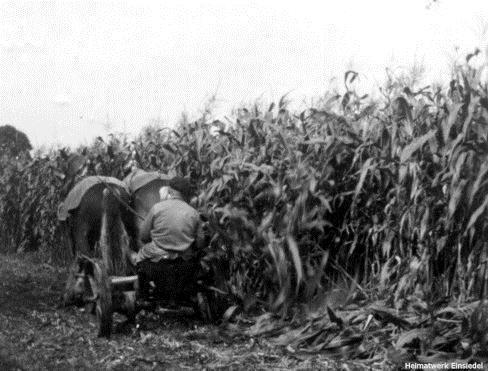 Erste Maisernte in Einsiedel 1957